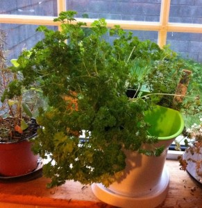 kitchen herbs in a self watering plant pot with 3 compartments