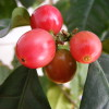 Coffee_berries_1